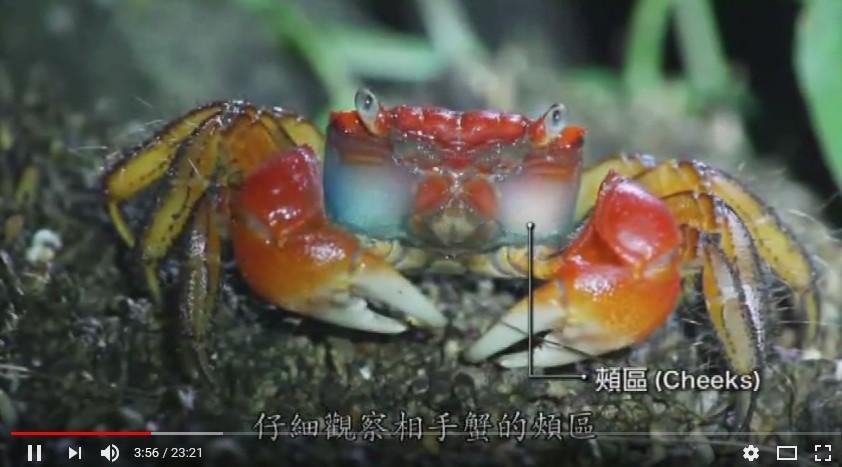 陸蟹圖片-1