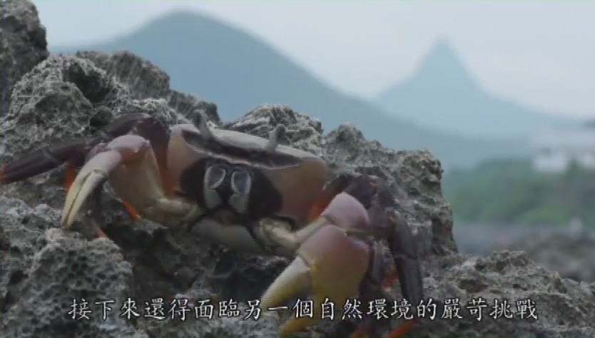 陸蟹圖片-2